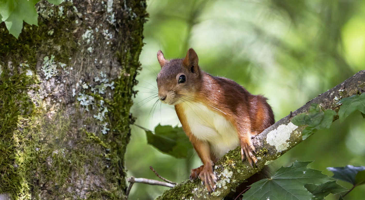 Europäisches Eichhörnchen (Sciurus vulgaris), sitzt in einem Baum, Vulkaneifel, Rheinland-Pfalz, Deutschland, Europa